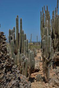 Bonaire Island Cactus