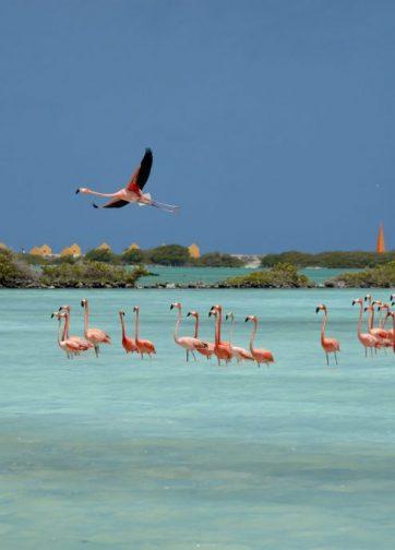 Bonaire_Island_Flamingos_37