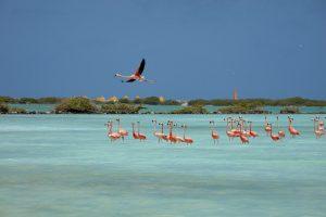 Bonaire Island Flamingos