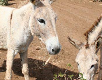 donkey-sanctuary-bonaire-3-xl